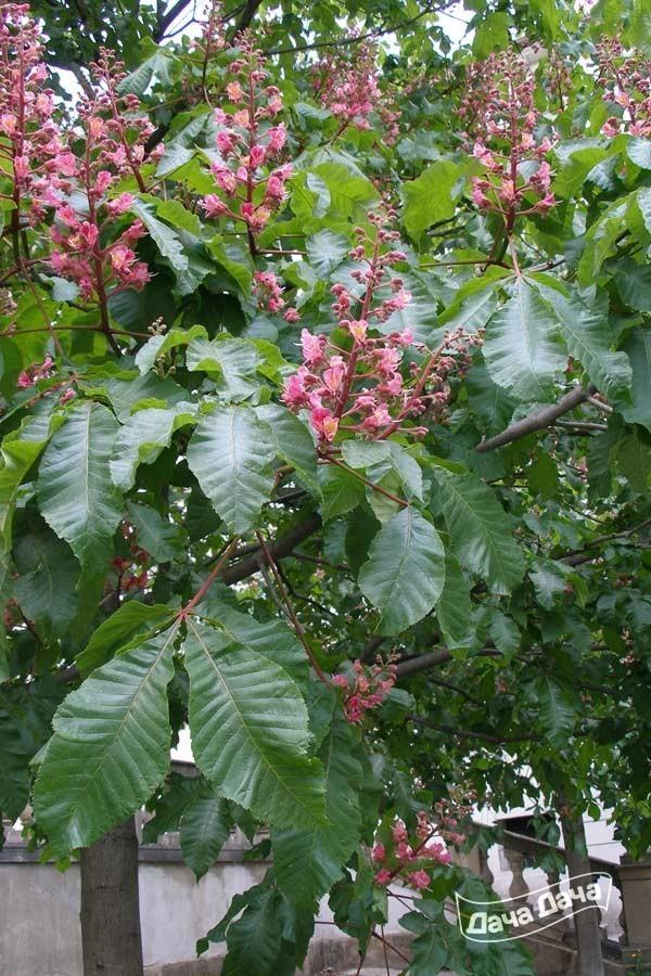 Красный каштан дерево