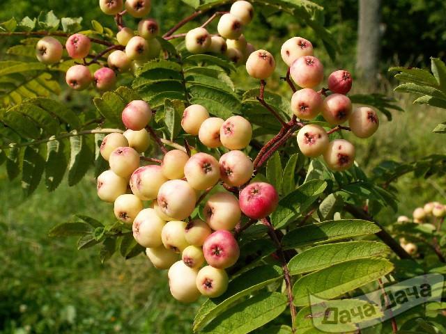 Рябина обыкновенная Пинк Веил (Sorbus aucuparia Pink Veil)