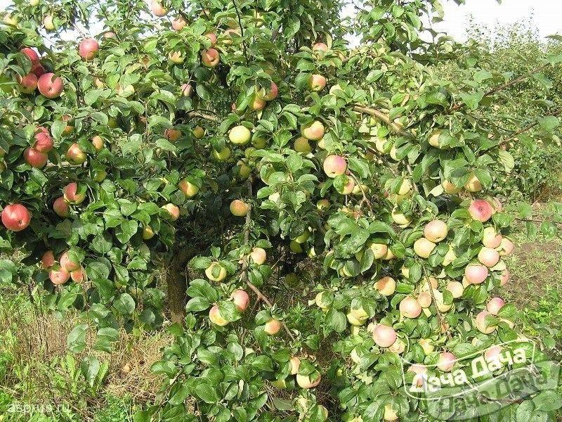 Старые сорта яблони народной селекции: описание, фото
