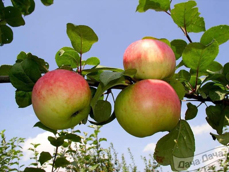 Сортовые особенности яблони Память воину