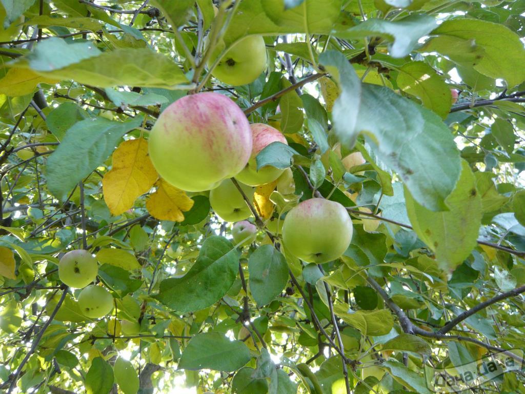 Память мичурина яблоня описание