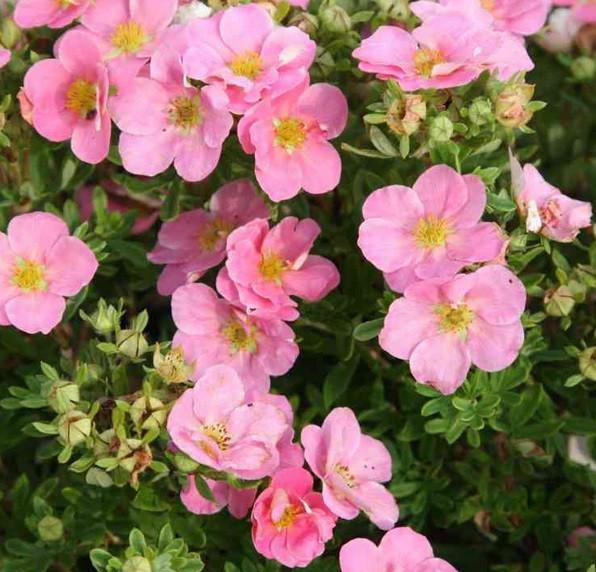 Лапчатка кустарниковая Пинк Квин (Pink Queen)