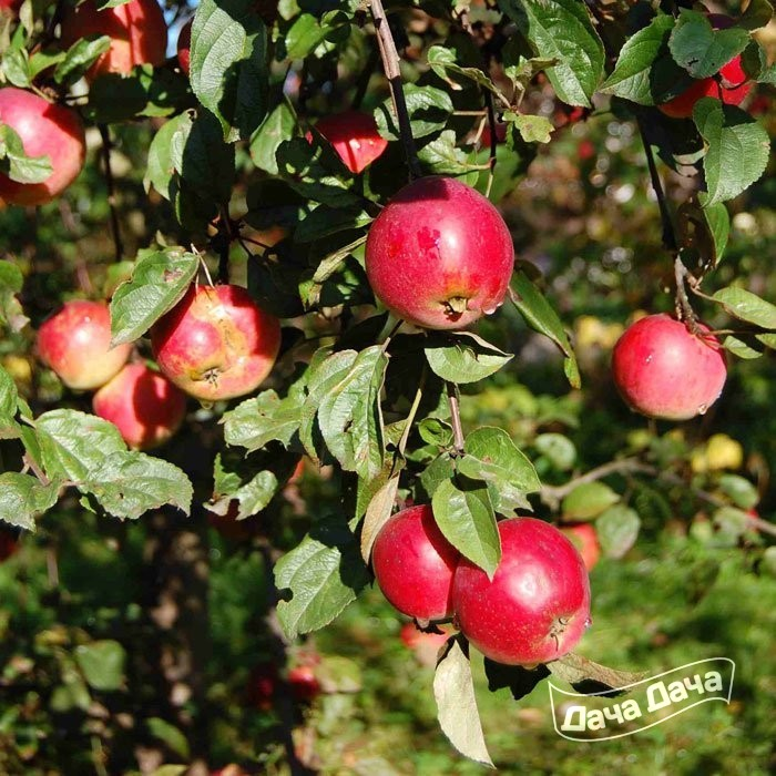 Яблоня Зимняя Звездочка - Описание Сорта, Фото, Саженцы -8480