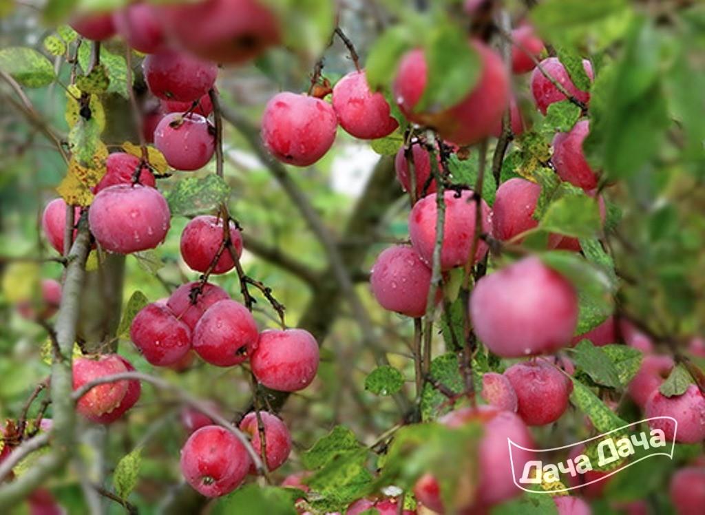Яблоня Зимняя Звездочка - Описание Сорта, Фото, Саженцы -6758
