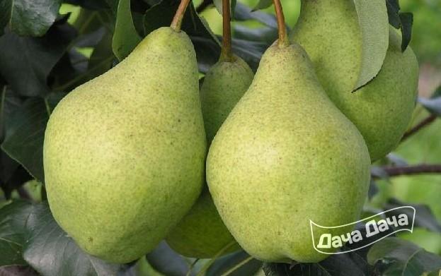 Груша орловская летняя описание сорта — Дачное хозяйство