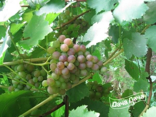 Виноград Амирхан описание сорта